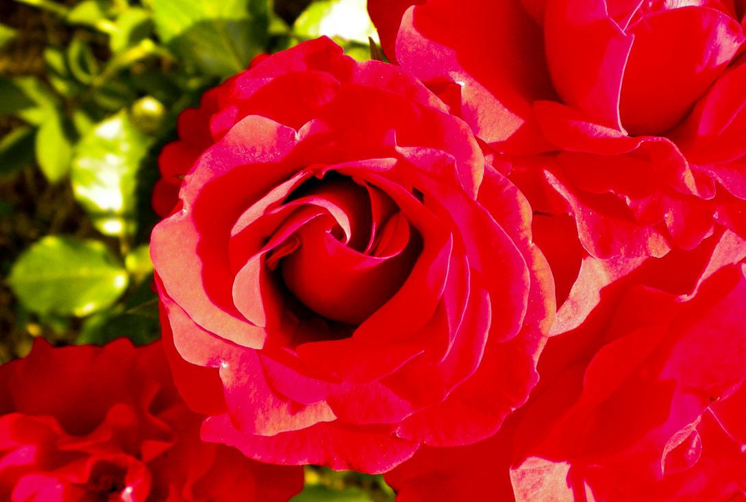 ..::Rose::.. - 2 by Deyutzica