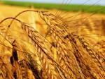 wheat by bangliuke