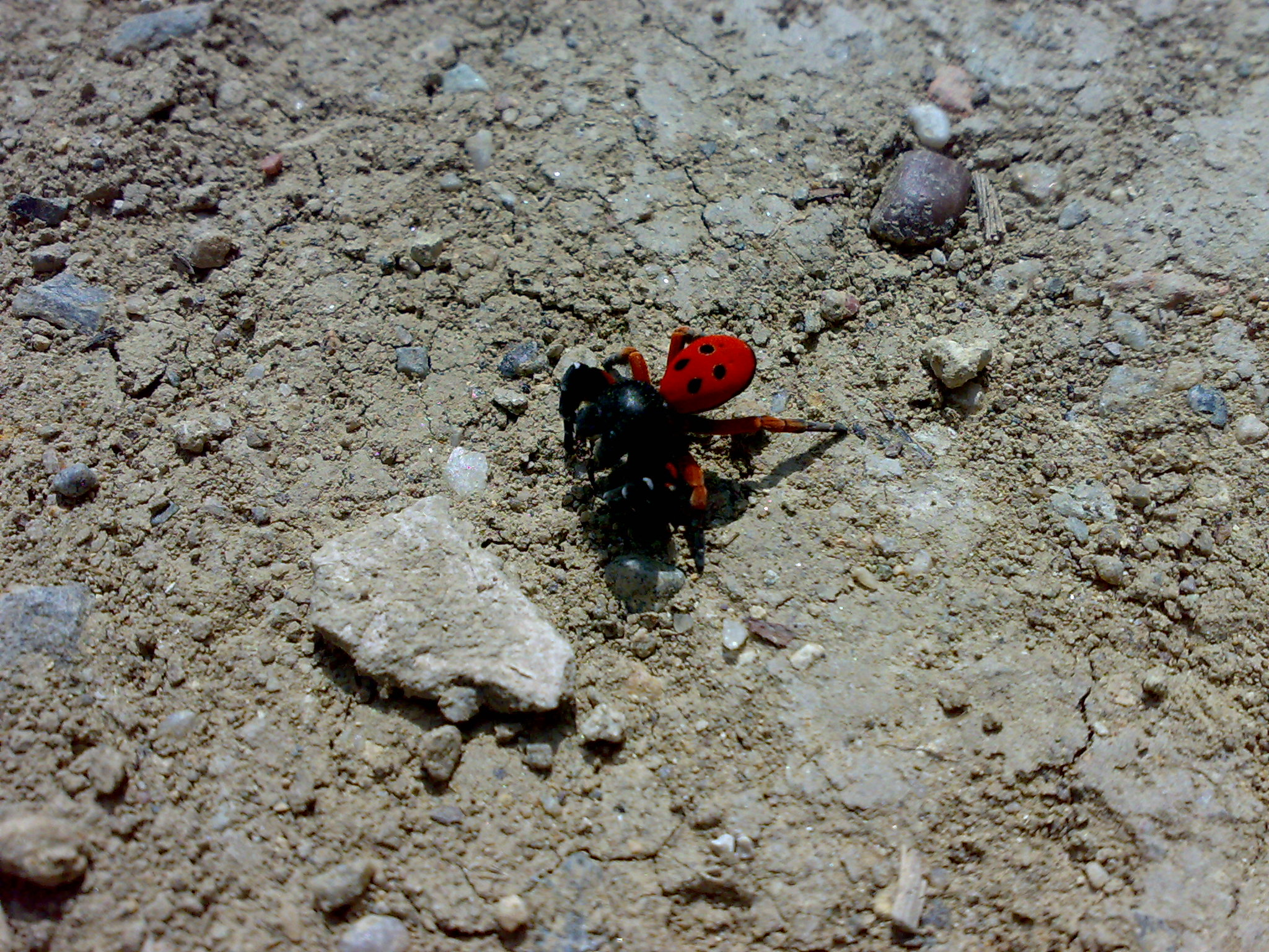 Black jumping spider with red dot - photo#14