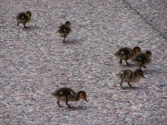 Ducklings by le-scud