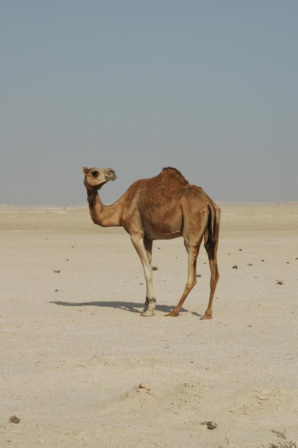 Camel by Jezhawk-stock