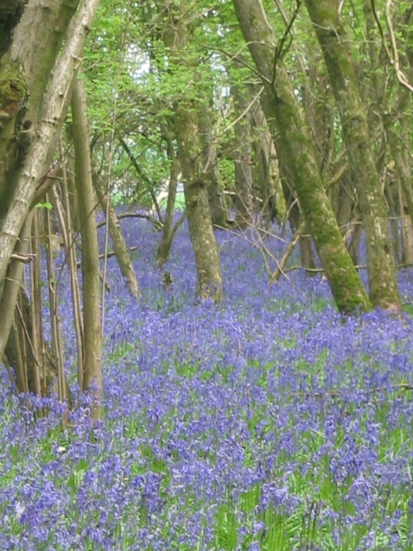 Sea of Bluebells by Jezhawk-stock