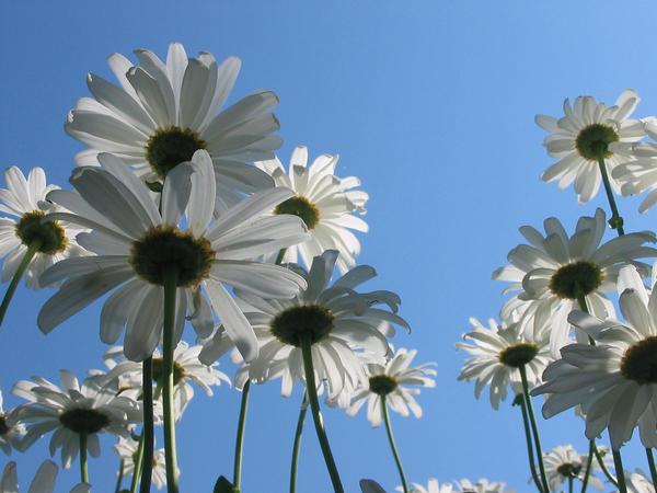 Beneath the daisies by Jezhawk-stock