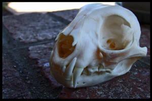 Bobcat Skull by Lupen202