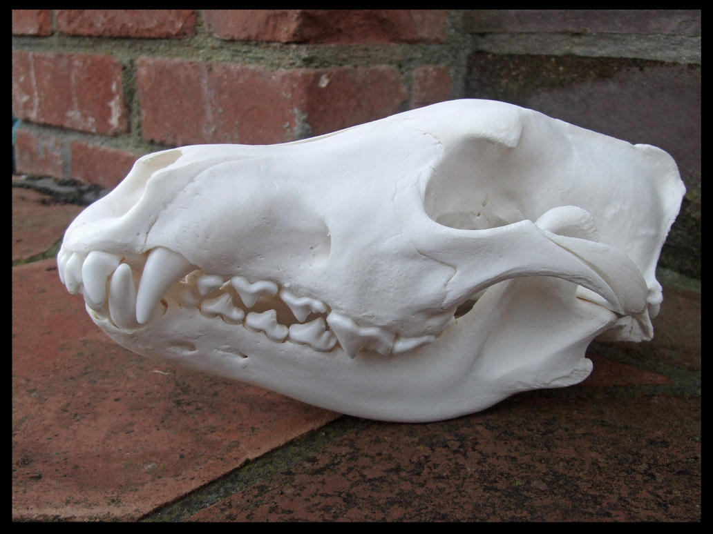 Wolf Skull Top View - ...