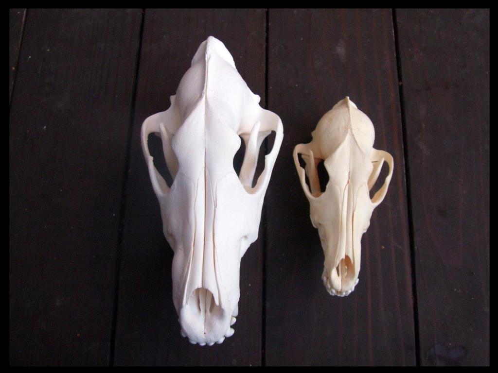 Coyote skull vs wolf skull - photo#9
