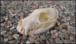 Aardwolf Skull by Lupen202
