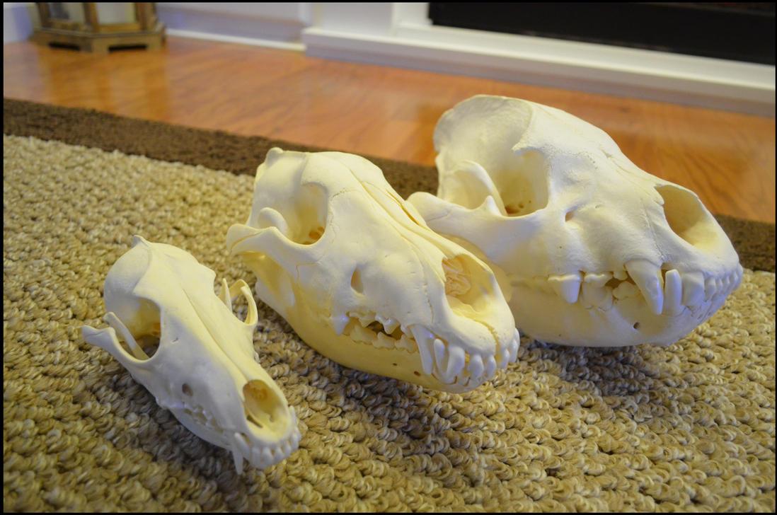 Coyote skull vs wolf skull - photo#6