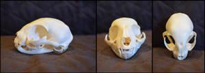 Domestic Kitten Skull