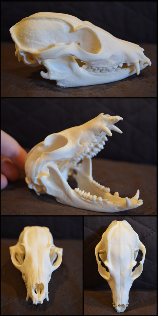 https://pre00.deviantart.net/651f/th/pre/i/2015/365/2/c/bat_eared_fox_skull_by_lupen202-d9m8wcf.png
