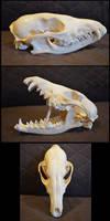 Jackal Skull