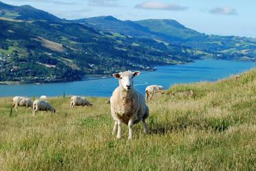 Sheep by beckenslobber