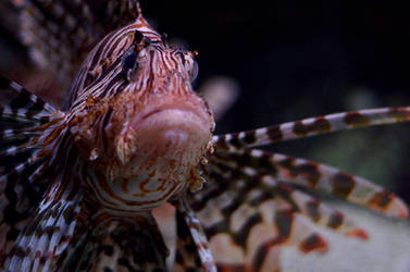 Lionfish by beckenslobber