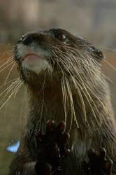 Otter by beckenslobber
