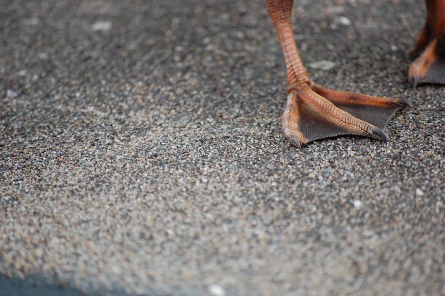 Mallards' leg