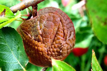 Apple Armadillo? by skronlage