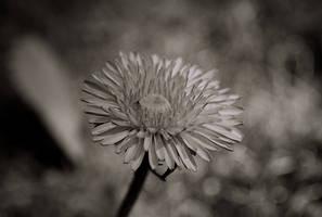 Dandelion Monochrome by emmasea