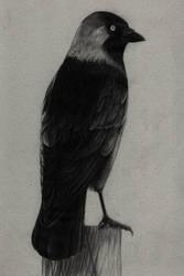 Corvus monedula by Noire-Ighaan
