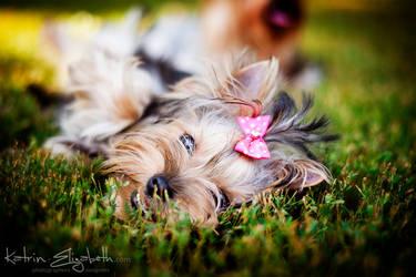Yorkshire Terrier 2 by Katrin-Elizabeth