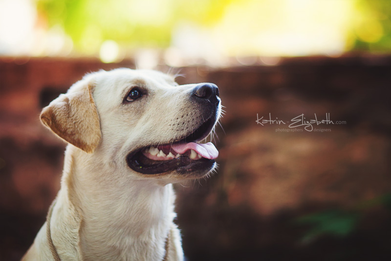 Baffi - labrador by Katrin-Elizabeth