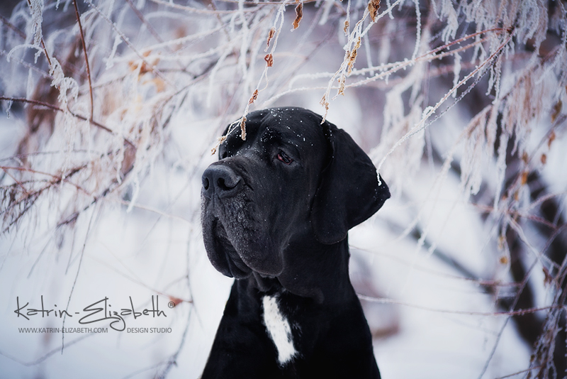Deutsche Dogge by Katrin-Elizabeth