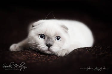 Scottish Fold kitten... or bear? :) by Katrin-Elizabeth