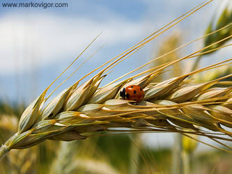 Ladybug by markovigor