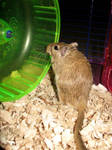 Wickette the Gerbil 2