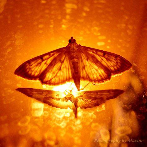 Fire Moth By Maxine Photo On Deviantart