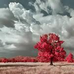 Infraed oak