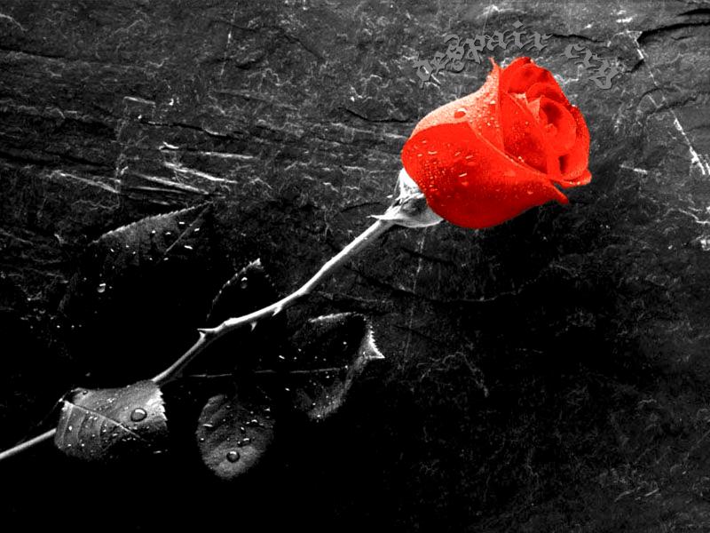 Despair Rose by despair-cry