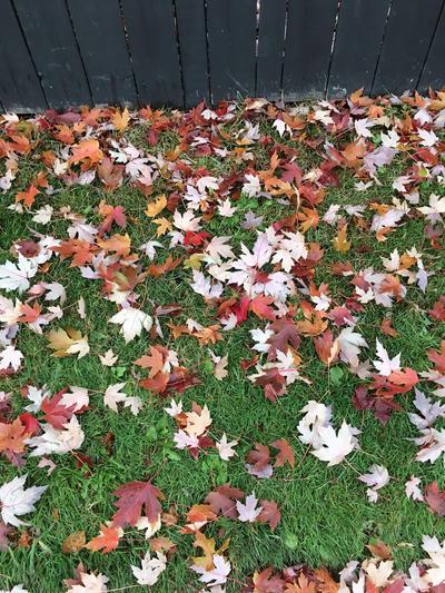 Canadian Fall by LadySakuraAvalon
