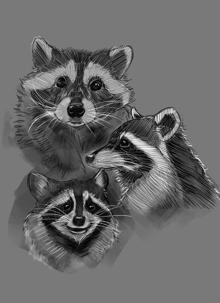 Raccoon study sketches by hyrelynk