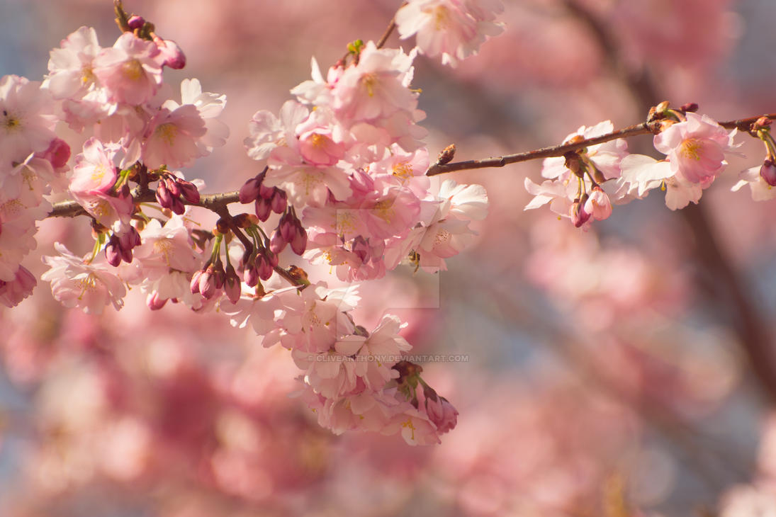 Cherry Blossoms by CliveAnthony
