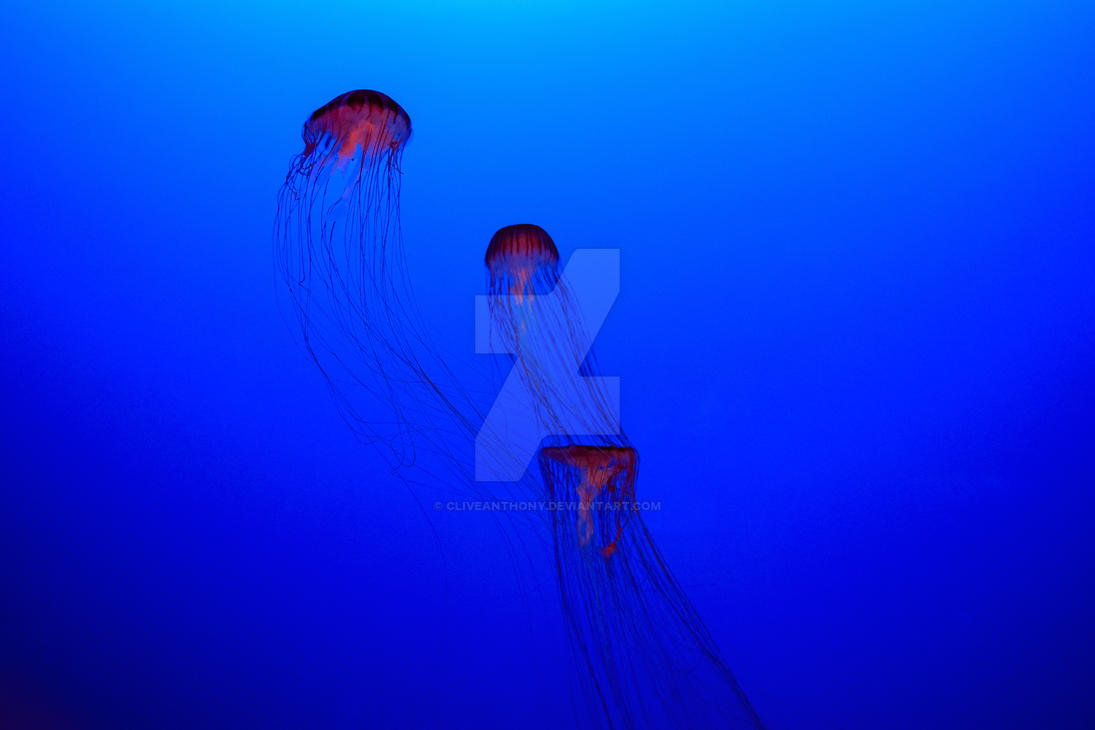 Sea Nettles by CliveAnthony