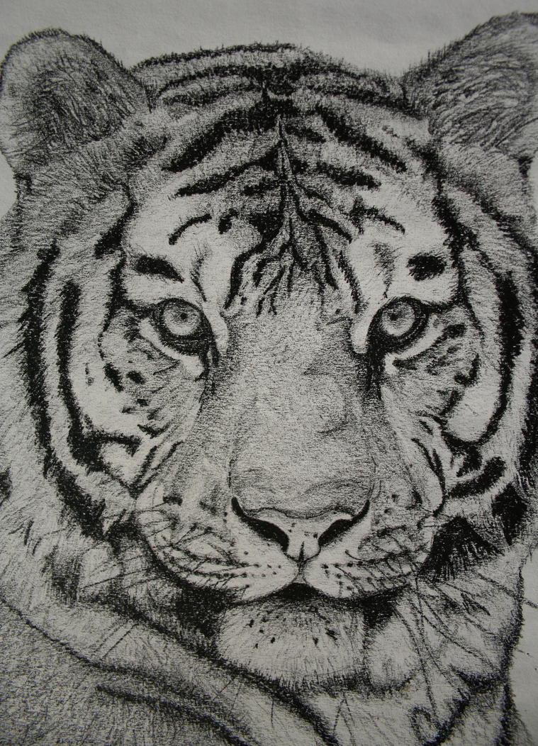 Tiger head drawing - photo#10