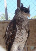Owls by Kitshyju
