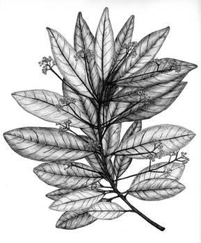 Persea borbonia (Redbay)
