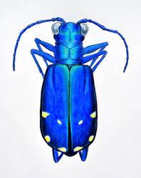 Cicindela sexguttata (Six-Spotted Tiger Beetle)