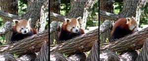 Animals - Red Panda 1 by MoonsongStock