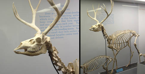 Animals - Skeleton 1 by MoonsongStock