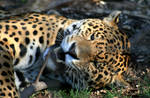 Animals - Jaguar 2