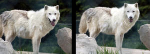 Animals - Arctic Wolf 3 by MoonsongStock
