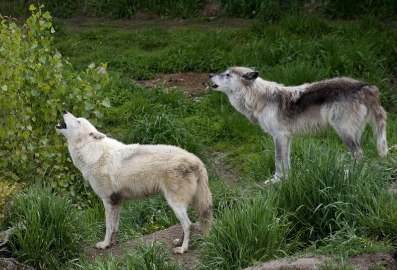 Manada: Guardianes del bosque - Página 23 Animals___Grey_Wolf_1_by_MoonsongStock