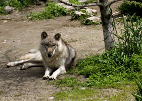 Animals - Grey Wolf 2 by MoonsongStock