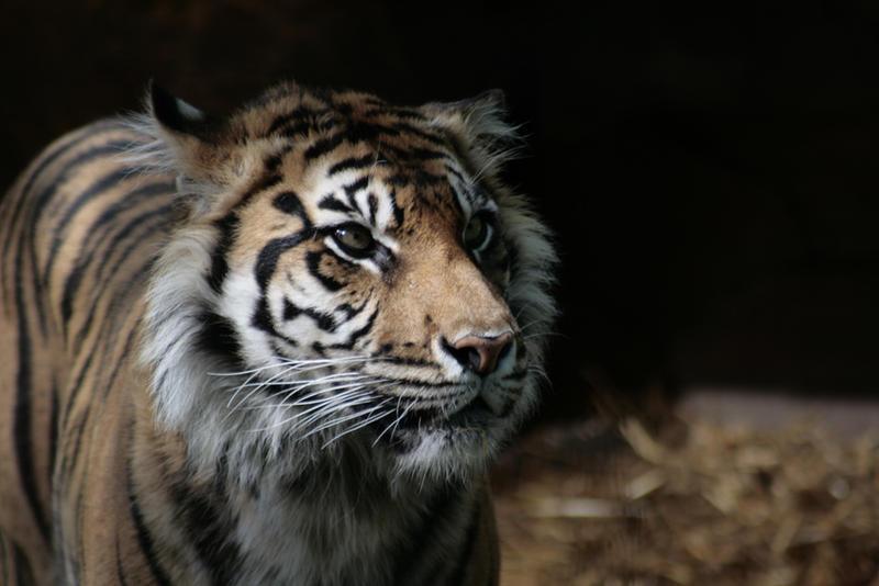 Animals - Tiger 5 by MoonsongStock