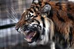 Animals - Tiger 6