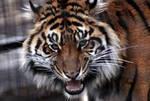 Animals - Tiger 7