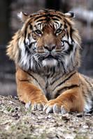 Animals - Tiger 8 by MoonsongStock