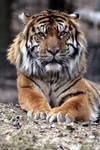 Animals - Tiger 8